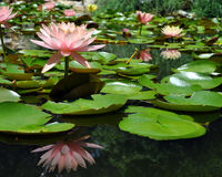 Pink Water Lilies. A pond of pink water lilies at the Zilker Botanical Gardens in Austin, Texas Stock Photos