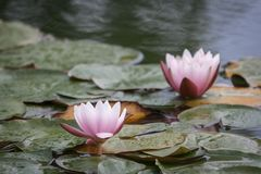 Pink water lilies in the rain royalty free stock photography