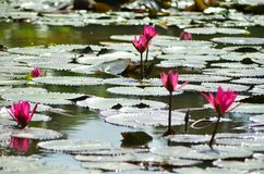 Pink water lilies surrounded by lily-pads. Royalty Free Stock Image