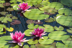 Pink water lilies. Royalty Free Stock Photography