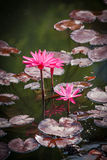 Pink Water Lilies Vertical Nymphaeaceae. Day-blooming aquatic pink water lilies with floating mats of foliage are part of the Color on the Creek amazing water Royalty Free Stock Images