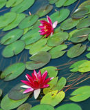 Pink Water Lillies. Pink lilies and bright green lily pads. Dwarf Pink Water Lily, nymphaea cultivar Royalty Free Stock Images