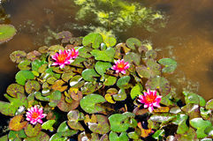 Pink Water lillies Botanical Garden, Padua, Italy Royalty Free Stock Images