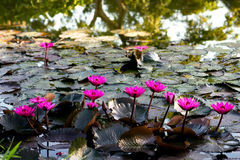 Pink water lillies in a natural pond in Trinidad and Tobago.  royalty free stock photo
