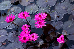 Pink water lillies in a natural pond in Trinidad and Tobago.  royalty free stock photos