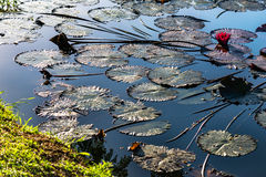 Pink water lillies in a natural pond in Trinidad and Tobago Royalty Free Stock Images