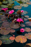 Pink water lillies in a natural pond in Trinidad and Tobago Royalty Free Stock Image