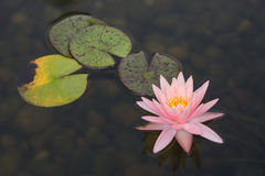 Pink Water Lillies Royalty Free Stock Photos