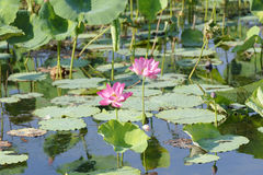 Free Pink Water Lillies, Yellow River, Australia Royalty Free Stock Photo - 77030505