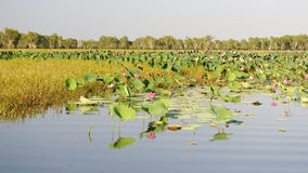 Pink Water Lillies, Yellow River, Australia. Pink Water Lillies on the Yellow River, Kakadu National Park, Northern Territories, Australia stock images