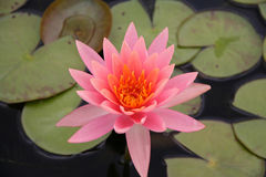 Pink Water Lilly. Pink Water Flower in a Pond of Lilly Pads Royalty Free Stock Photos