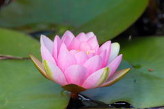 Pink Water Lilly Stock Image