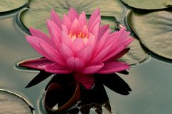Pink Water Lilly. Floating in a pond stock images