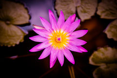 Pink water lilly Royalty Free Stock Photos