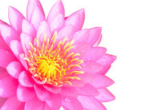 Pink water lilly isolated on white background Stock Photo