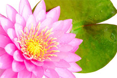 Pink water lilly isolated on white background Royalty Free Stock Photography