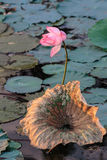 Pink water lilly Royalty Free Stock Images