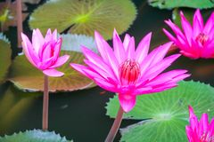 Pink Water lilly Stock Photos