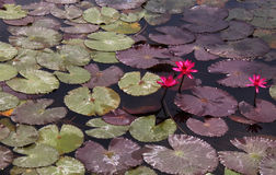 Pink water lilly with leaves Royalty Free Stock Images