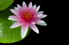 Pink Water-Lilly or Lotus bloomin over Black Background Stock Photo