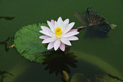 Pink Water Lilly or Lotus in the pond. Pink Water Lilly or Lotus and its reflection in the pond stock photo
