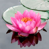Pink Water Lily. Blooms serenely in a reflective water garden Stock Photography