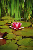 Pink water lily. Against green background Royalty Free Stock Photos