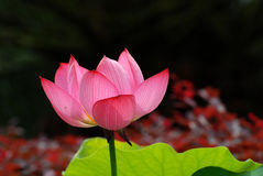 Pink Water Lily. Shot at water garden royalty free stock images