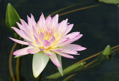 Pink water lily. With buds and leaf stock photos