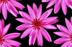 Pink water lily. Or lotus flowers isolated on black background stock photo