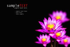 Pink water lily Royalty Free Stock Photos