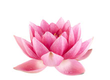 Pink water lily. Close-up Stock Image
