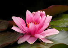 Pink Water Lily. On dark background Royalty Free Stock Photo