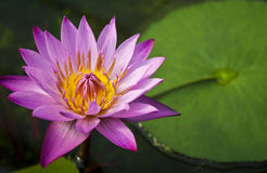 Pink water lily. Beautiful bloomed pink water lily Royalty Free Stock Images