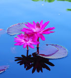 Pink Water Lily Royalty Free Stock Photography