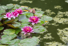 Pink water lily. With lotus leaf on pond Royalty Free Stock Image