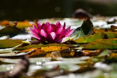 Pink water lily. Pnik water lily, between leaves Stock Photography