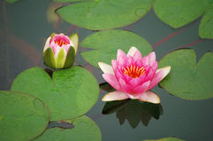 Pink water lily. Blooming in pond Royalty Free Stock Images