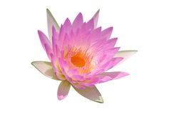 Pink water lily. Isolated on white background Stock Images