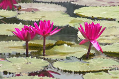 Pink Water Lily. This image shows 3 pink water lily royalty free stock images