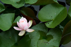 Pink Water Lily. Among it's leaves stock photos