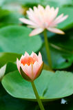 Pink water lily stock image