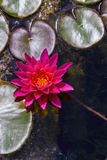 Pink water lily from above Royalty Free Stock Images