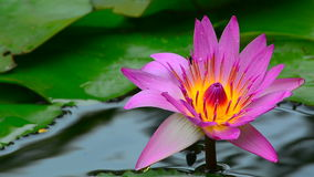 Pink water lily. Beautiful pink water lily with dew drops on petals in a garden pond stock footage