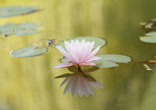 Pink water lily Stock Photos