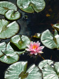Pink water lily. Beautiful pink water lily in a pond Stock Image