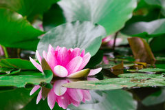 Pink water lily is beautifully reflected Royalty Free Stock Images