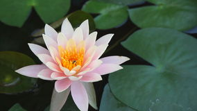 Pink water lily and a bee. Close up stock video