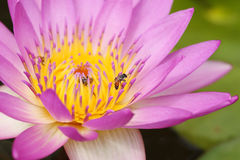 Pink water lily with bee Royalty Free Stock Image