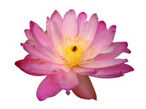 Pink water lily and bee. Pink water lily with bee in the middle, white background Stock Photos